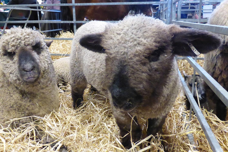 Lamb at Springtime Live