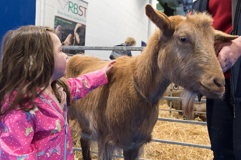 Rare breed goat at Springtime Live