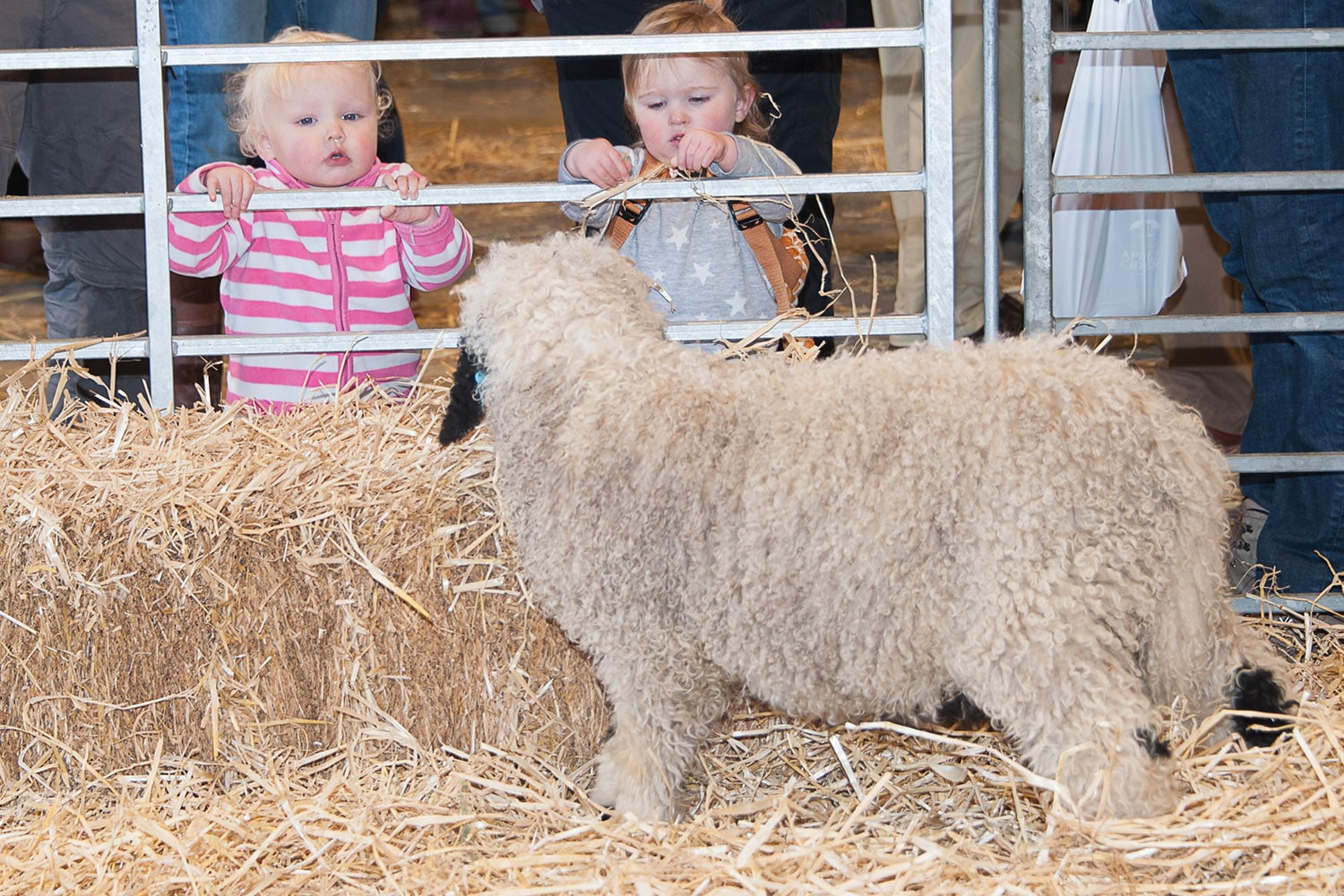 Kids with sheep at Springtime Live